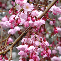 雨の枝垂桜