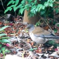 <シロハラ(白腹)> アムール川流域からの渡り鳥、まもなく北帰行?