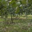 リンゴ畑でゴロゴロ