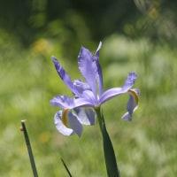 山岳点景:Raffaello Blue 初夏に咲く