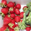 ナス・トマト誘引  トウキビ畑に網設置  野菜の収穫(イチゴ・ブロッコリーは終わり、ナスは初収穫)