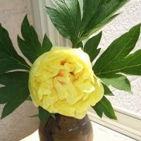 我が家の黄色の「牡丹」豪華、散る時も潔しとハラハラと散ってしまう あの大きな花が一瞬にして散ってしまう!