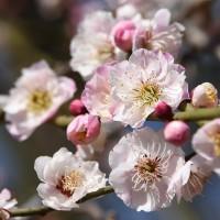 世界の梅公園では、いろんな梅が楽しめます。 (たつの市) 2017.03.12