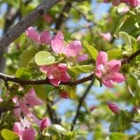 カリンの花の季節です