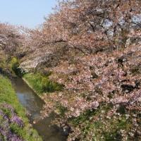 桜もそろそろ終わり