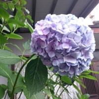 紫陽花はこんなに‼