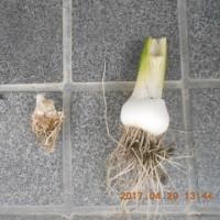 今日の収穫 ニンニク キヌサヤ