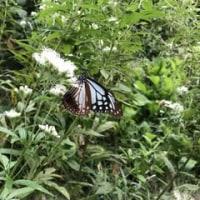 少女Aとアサギマダラと昆虫公園。~蝶にちなんだ~