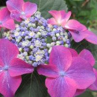 紫陽花「小桜姫」と「ケルヘン」