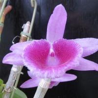 Paph.rothschildianum,Den.Mentor