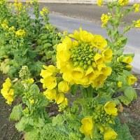 菜の花のベルト