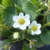 エンドウの花が咲いた♪(3月28日)