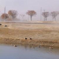 カルガモの池