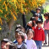 韓国の春と山吹色