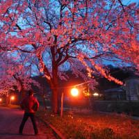 安塚リバーサイドの桜、ライトアップ