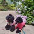 ぬかた紫陽花園