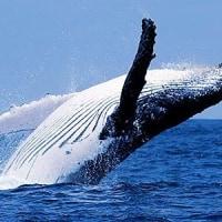 「来世はシロナガスクジラ!」
