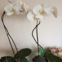 成長〜豆苗と胡蝶蘭