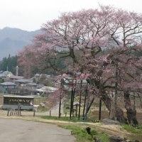 朝は桜、昼は戸隠そば