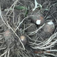 サトイモ掘り収穫     ドングリ剪定