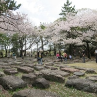 名古屋城の桜