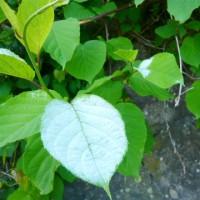 白化したマタタビの葉