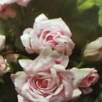 薔薇咲きゼラニウム⁉️