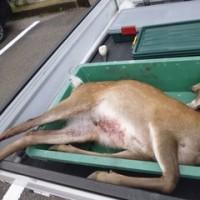5月16日有害鳥獣捕獲「鹿」