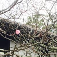 梅が数輪咲いてます