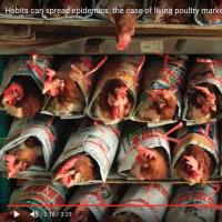 生鳥市場が鳥インフルエンザ対策のネックだけど・・(動画)