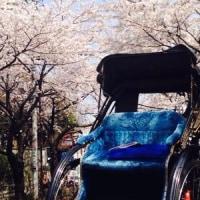 人力車でめぐる桜めぐり~選べる3つのプラン~浅草・谷中・鎌倉