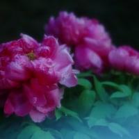 牡丹 (花 4180)