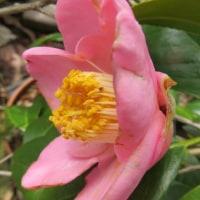 椿「楼蘭」と「素粧」