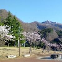 やっぱり桜