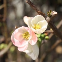 「おはようの花」 ボケ,ぼけ(木瓜) 2月