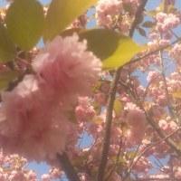 滞在型家庭菜園:八重桜