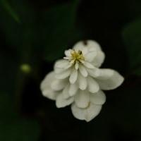 八重のドクダミ (花 4430)