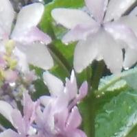 すごく雨がふっている。植物さんいとっては、うれしいだろうな。大ちゃん里山農業。金魚ちゃん、小吉ちゃん、シバチャン。