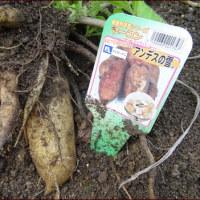 サフランを植える