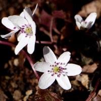 野川公園自然観察園3月の花だより