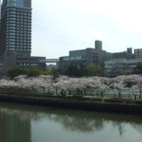桜満開!(大阪城&桜の宮)