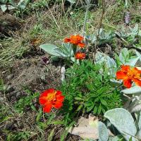スイートコーンと庭のマリーゴールド・アガパンサスなど (17-625)