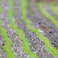 田圃の野鳥