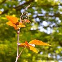林縁にヤブカラシ蔓が立って
