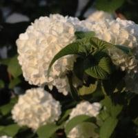 真っ白になった オオデマリの花