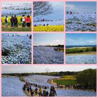 GW直前、足利フラワーパーク→栗田美術館→ひたち海浜公園