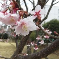 北海道より東京の方が寒い様な?春の馴染みさんは揃踏みだね