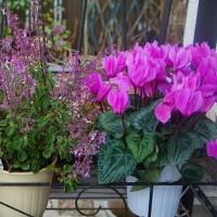 冬の鉢花、長く咲いて嬉しいな~♪