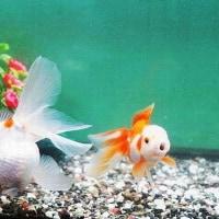 【カワニナと金魚と熱帯魚】