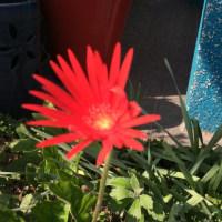 ご近所のお花達